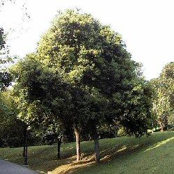 copacul-de-scortisoara