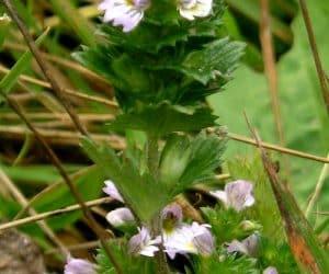 iarba de silur sau floarea de ochi