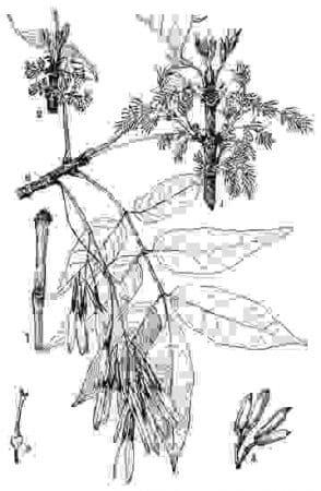detalii frasinul Fraxinus americana