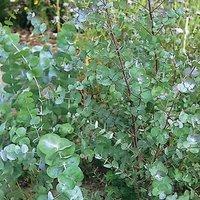 eucalipt-arbust