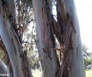 eucalipt-trunchi