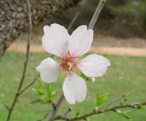 floare-Migdale-Prunus-dulcis