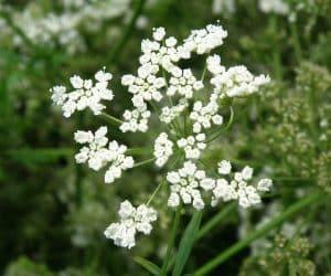 floare de anason Pimpinella-Anisum