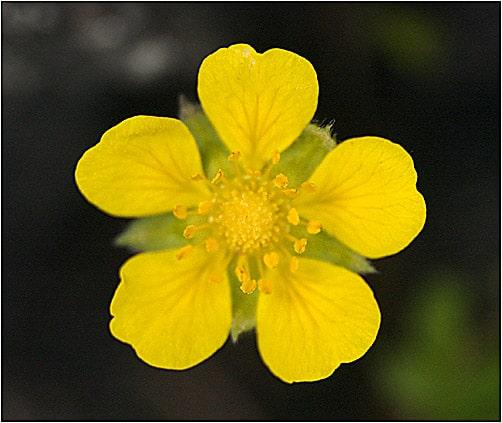 floare planta cinci degete