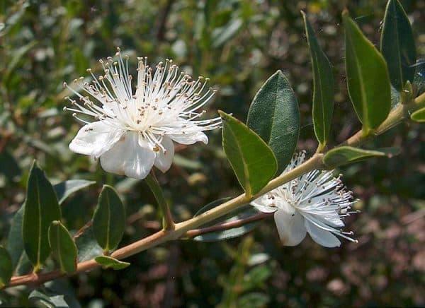 floare-de-mirt