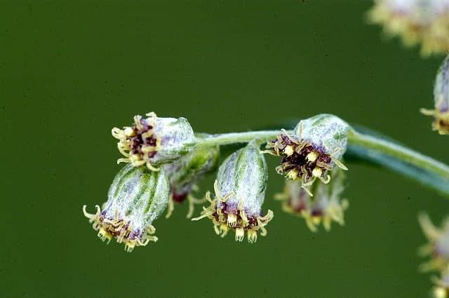 floare-de-pelin