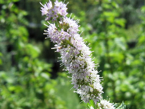 menta piperita citrata - floare-menta-de-bergamota
