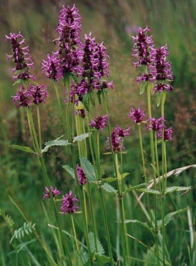 flori vindecea Betonica officinalis