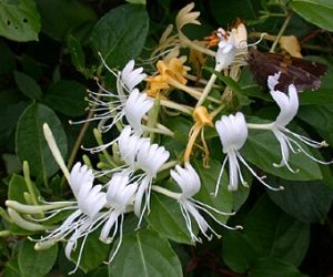 flori-caprifoi