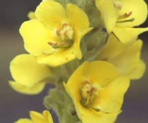 Imaginea thumbnail despre Lumânărica – beneficii, proprietati si remedii naturale