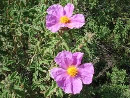 flori-de-scortisoara