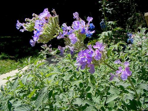 flori de iarba matei Nepeta Cataria