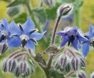flori comestibile de limba mielului