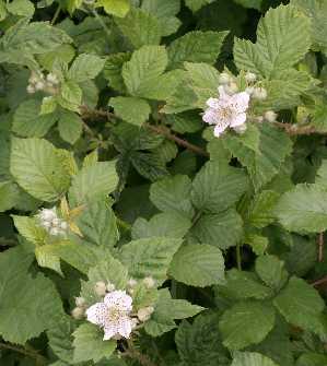 flori-mure-Rubus-fruticosus