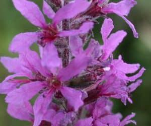 flori-rachitan