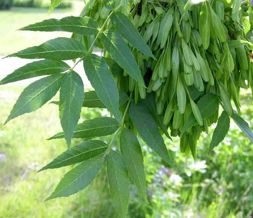 frasinul - frunze si seminte de frasin - Fraxinus excelsior
