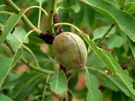migdalele Prunus-dulcis