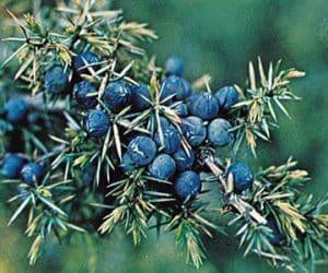 fructe de ienupar coapte