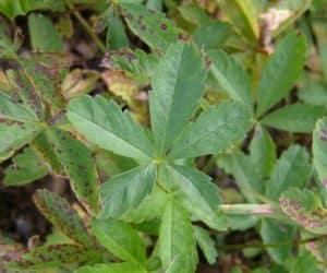 frunze-cinci-degete