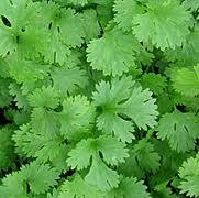 frunze-de-coriandru