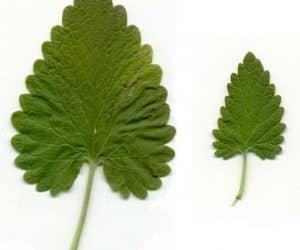 frunze-iarba-matei-Nepeta-Catoria