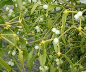 Imaginea thumbnail despre Vascul planta medicinala ~ Proprietati, beneficii + remedii cu vasc