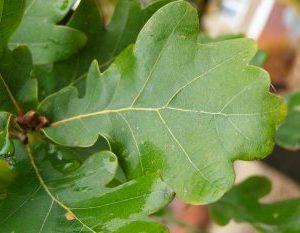 frunze-stejar