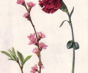petale de garoafa Dianthus caryophyllus