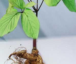 Radacina de ginseng întărește organismul - beneficii si proprietati 2
