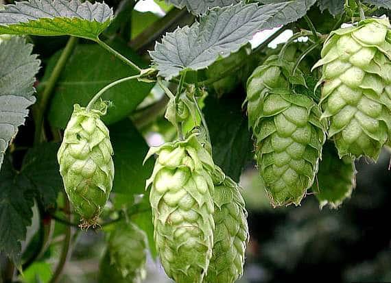 Hameiul - planta medicinala folosita si in alimentatie 1