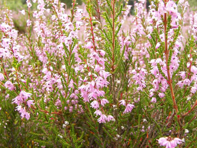 iarba neagra sau Calluna vulgaris
