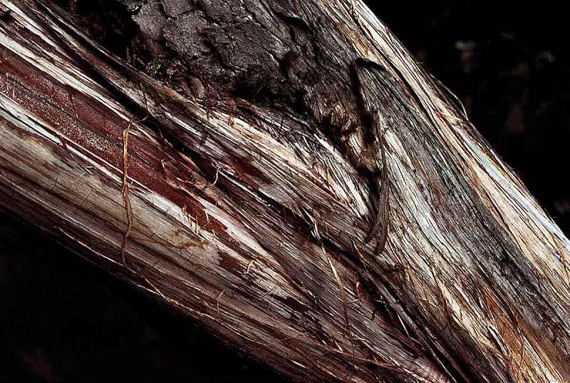 lemn-de-cedru
