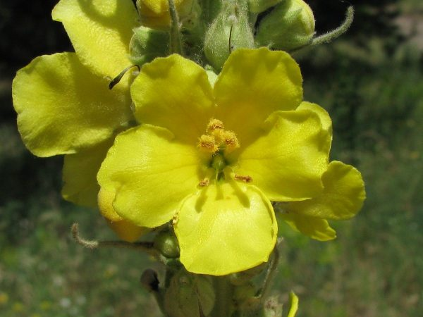 Lumanarica planta medicinala proprietati si beneficii
