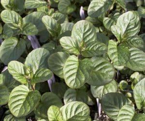 Imaginea thumbnail despre Menta de bergamotă
