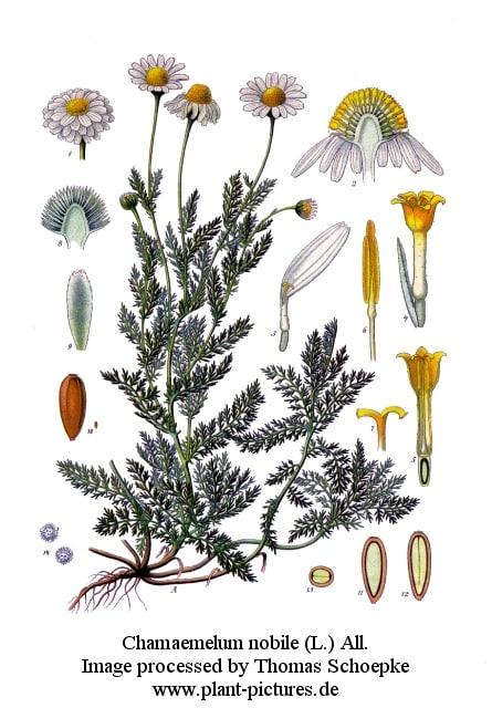 musetelul planta medicinala pentru ceai