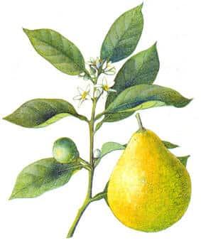 portocal amarui bergamota Citrus bergamia