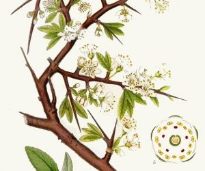 porumbarul-Prunus-spinosa