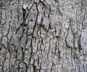 scoarta-de-stejar-alb