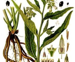 planta de tataneasa cu radacina
