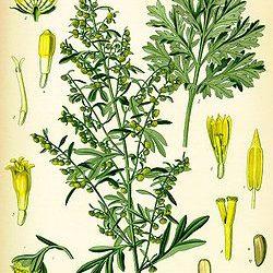 Arthemisia absinthum