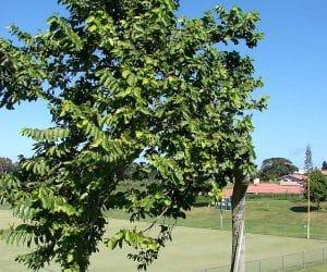 copac Cananga-odorata