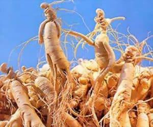 Radacina de ginseng întărește organismul - beneficii si proprietati 1