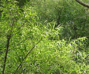Salix_nigra