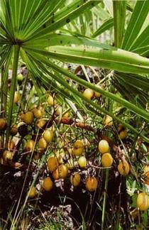 saw palmetto sau palmierul pitic trateaza prostata
