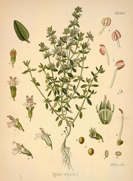 cimbrul de gradina thymus vulgaris