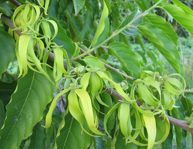 cananga-odorata-flori