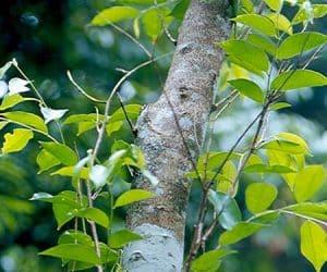 copac antal