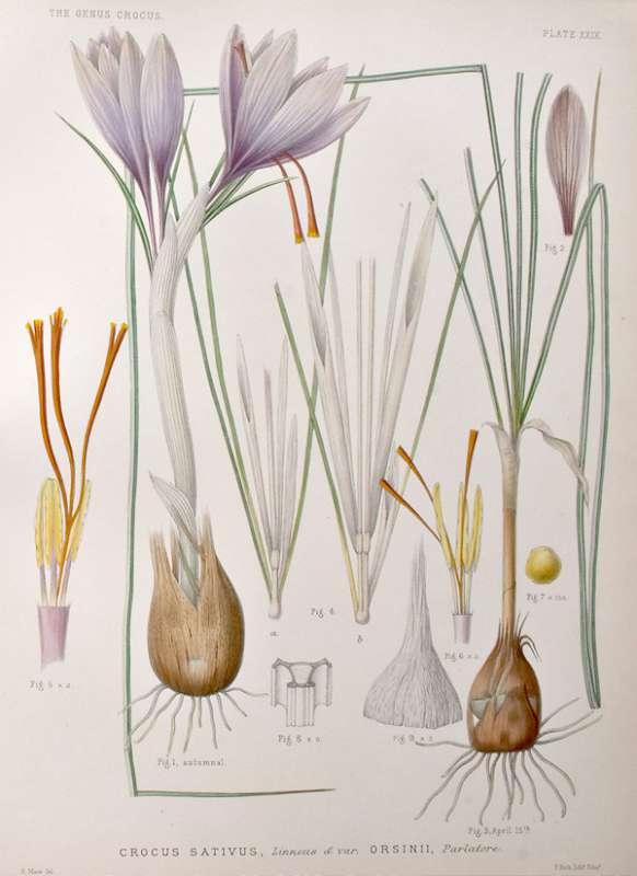 Sofranul (Crocus sativus)