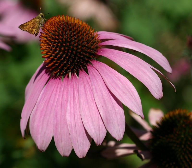 echinacea purpurea primadonna