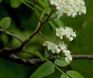 floare-scorus-de-munte